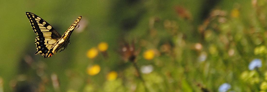 Ein Schmetterling fliegt über eine Bergwiese mit Blumen