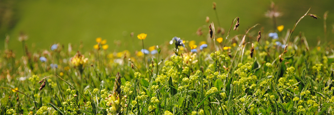Blumen auf einer Bergwiese